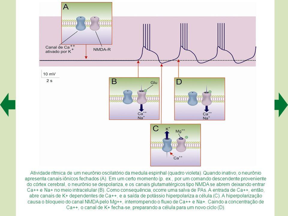 Atividade rítmica de um neurônio oscilatório da medula espinhal (quadro violeta).