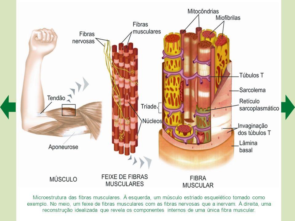 Microestrutura das fibras musculares