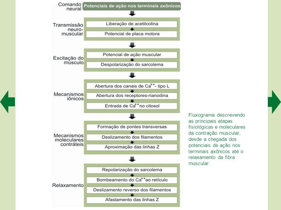 Fluxograma descrevendo as principais etapas fisiológicas e moleculares da contração muscular, desde a chegada dos potenciais de ação nos terminais axônicos até o relaxamento da fibra muscular.