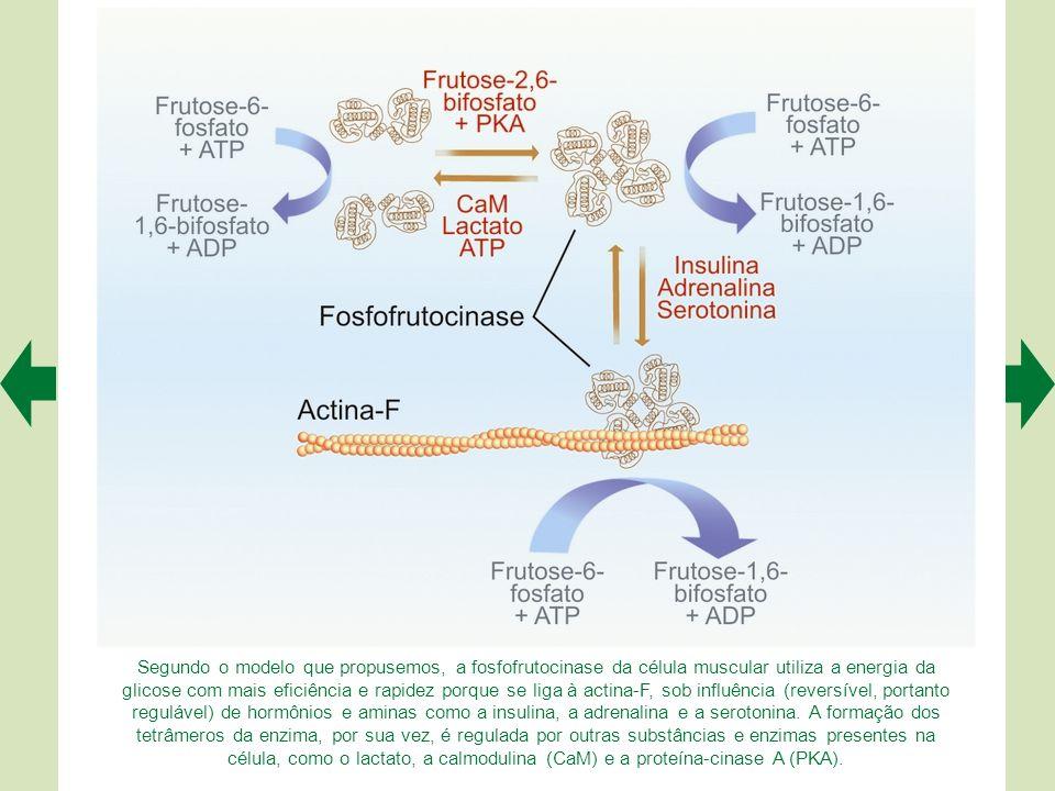 Segundo o modelo que propusemos, a fosfofrutocinase da célula muscular utiliza a energia da