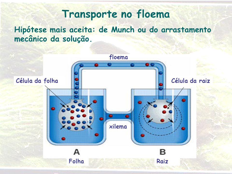 Transporte no floema Hipótese mais aceita: de Munch ou do arrastamento mecânico da solução. floema.