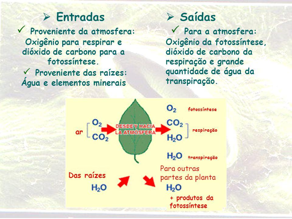  Entradas  Proveniente da atmosfera: Oxigênio para respirar e dióxido de carbono para a fotossíntese.  Proveniente das raízes: Água e elementos minerais