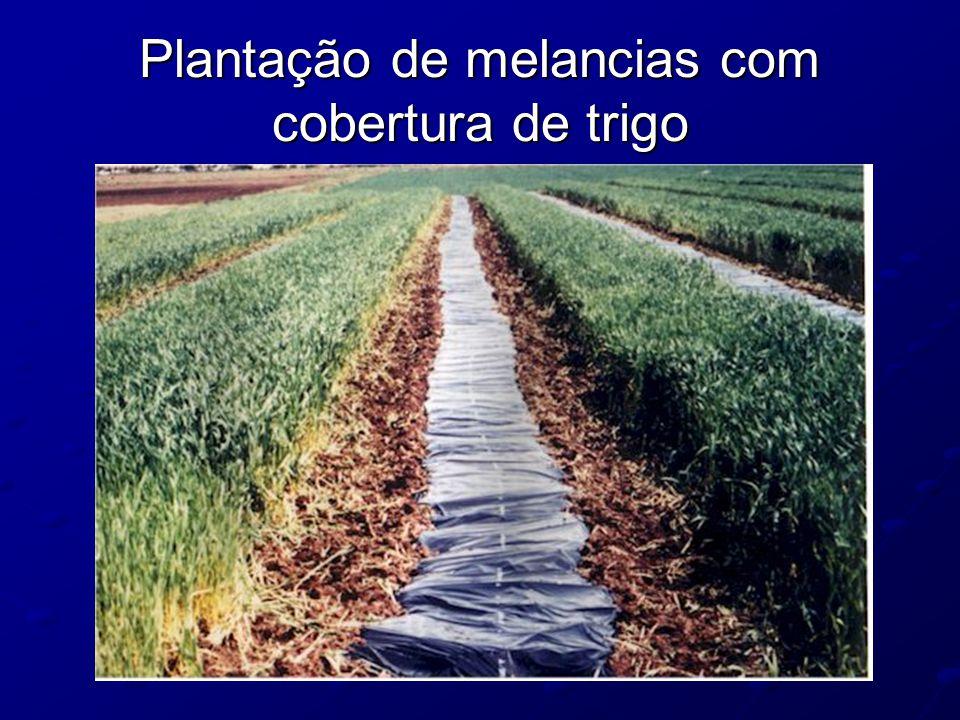 Plantação de melancias com cobertura de trigo