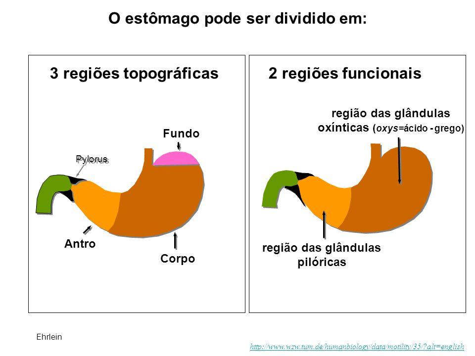 O estômago pode ser dividido em: 3 regiões topográficas