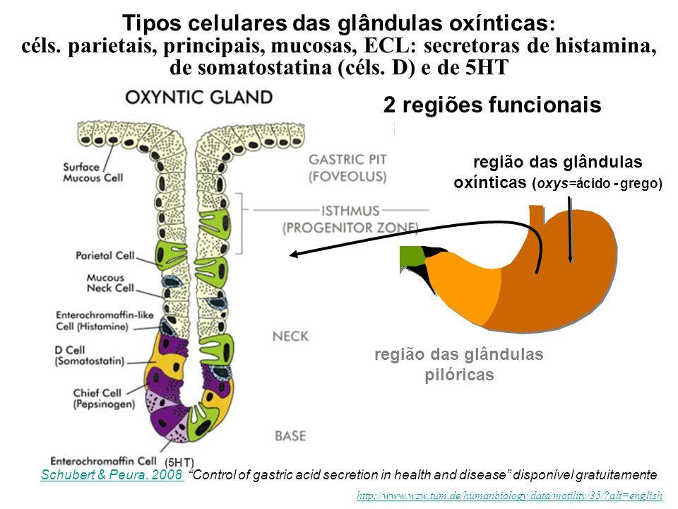Tipos celulares das glândulas oxínticas: