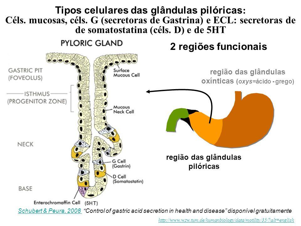 Tipos celulares das glândulas pilóricas: