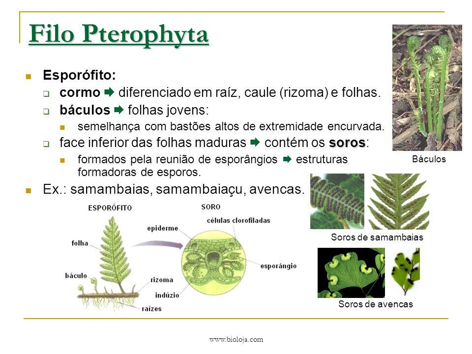 Filo Pterophyta Esporófito: Ex.: samambaias, samambaiaçu, avencas.