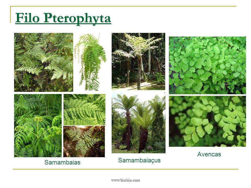 Filo Pterophyta Samambaias Samambaiaçus Avencas www.bioloja.com