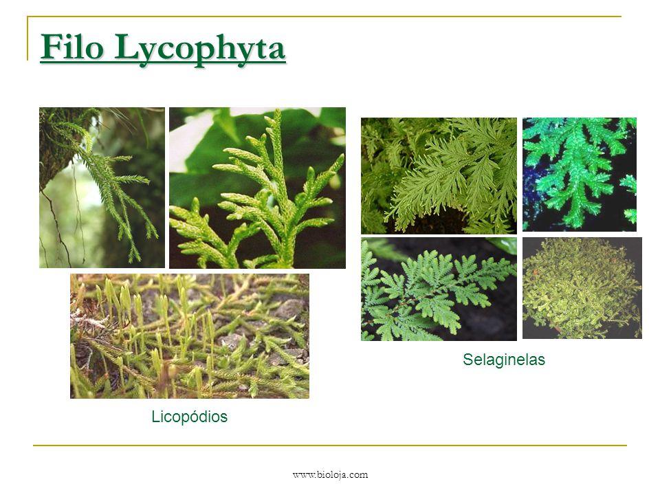 Filo Lycophyta Licopódios Selaginelas www.bioloja.com