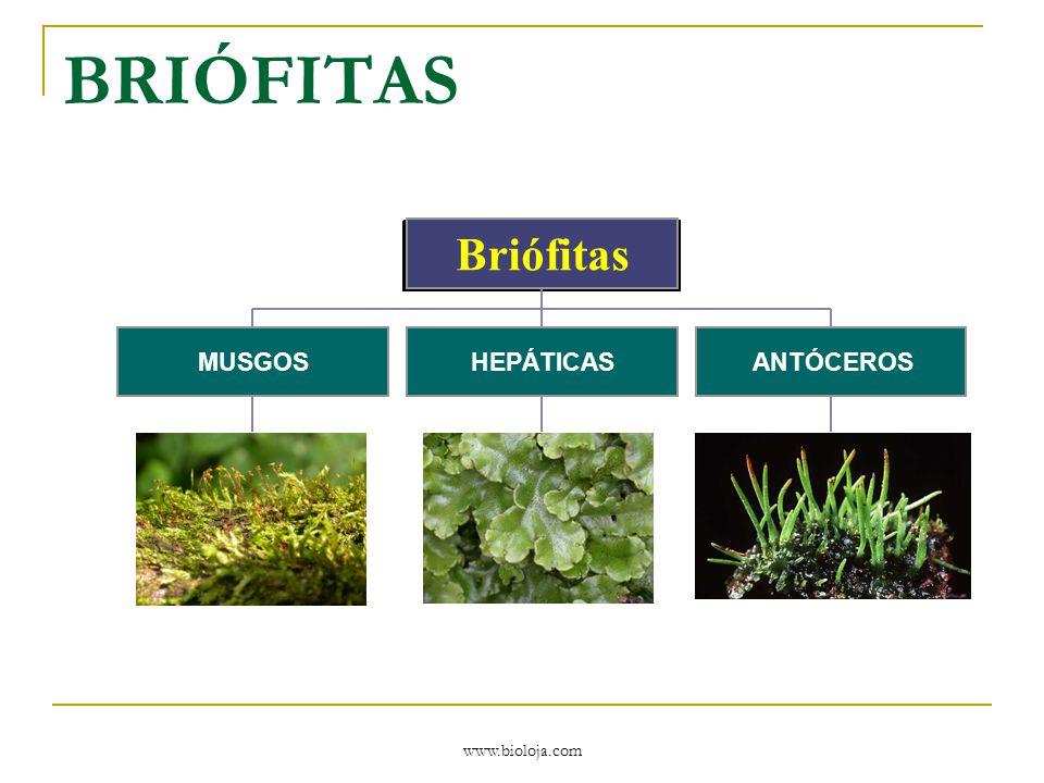 BRIÓFITAS MUSGOS HEPÁTICAS ANTÓCEROS Briófitas www.bioloja.com