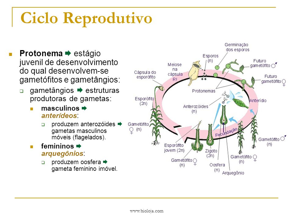 Ciclo Reprodutivo Protonema  estágio juvenil de desenvolvimento do qual desenvolvem-se gametófitos e gametângios: