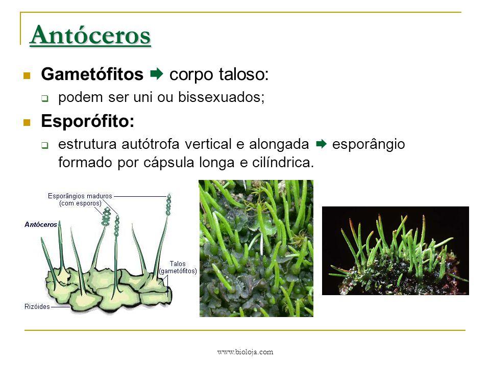 Antóceros Gametófitos  corpo taloso: Esporófito: