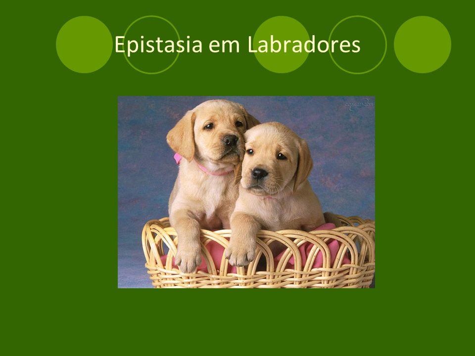 Epistasia em Labradores