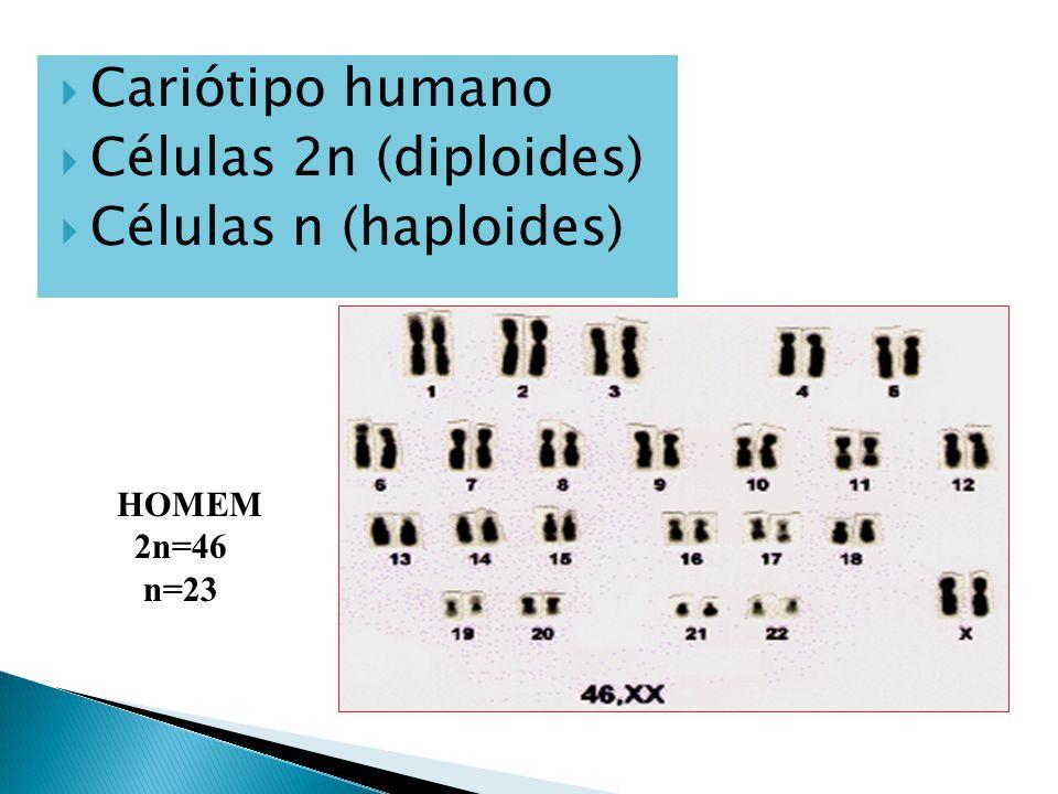 Cariótipo humano Células 2n (diploides) Células n (haploides) HOMEM