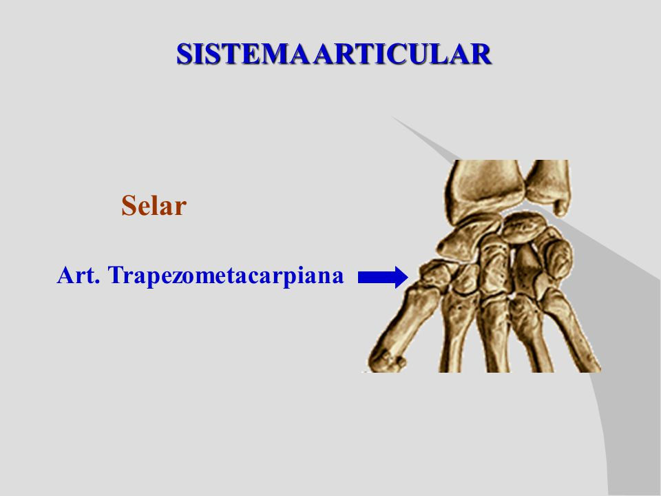 SISTEMA ARTICULAR Selar Art. Trapezometacarpiana