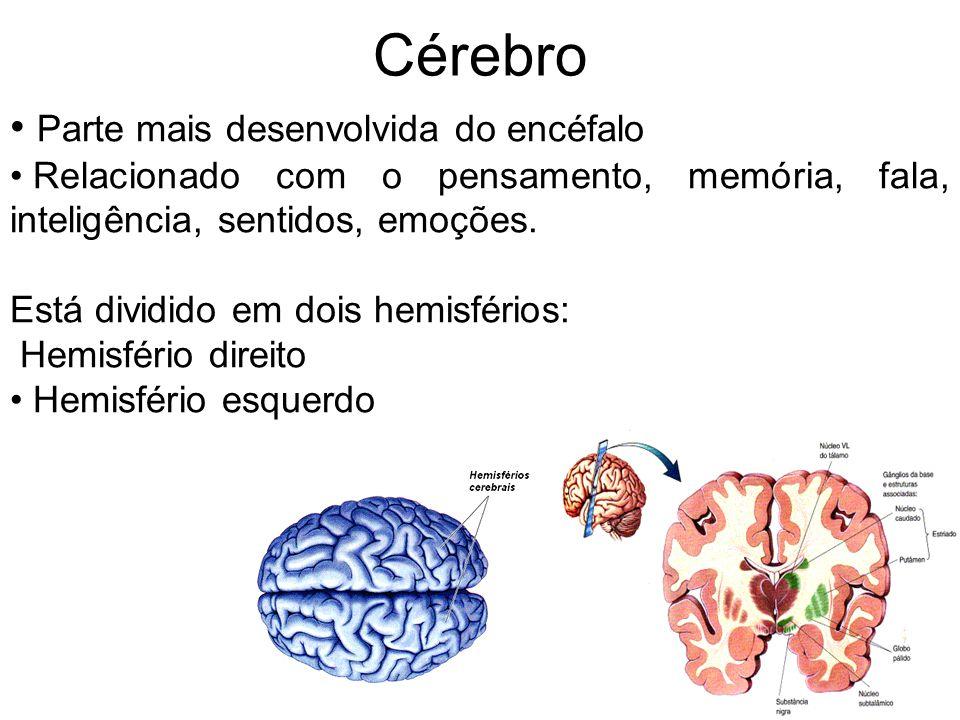 Cérebro Parte mais desenvolvida do encéfalo
