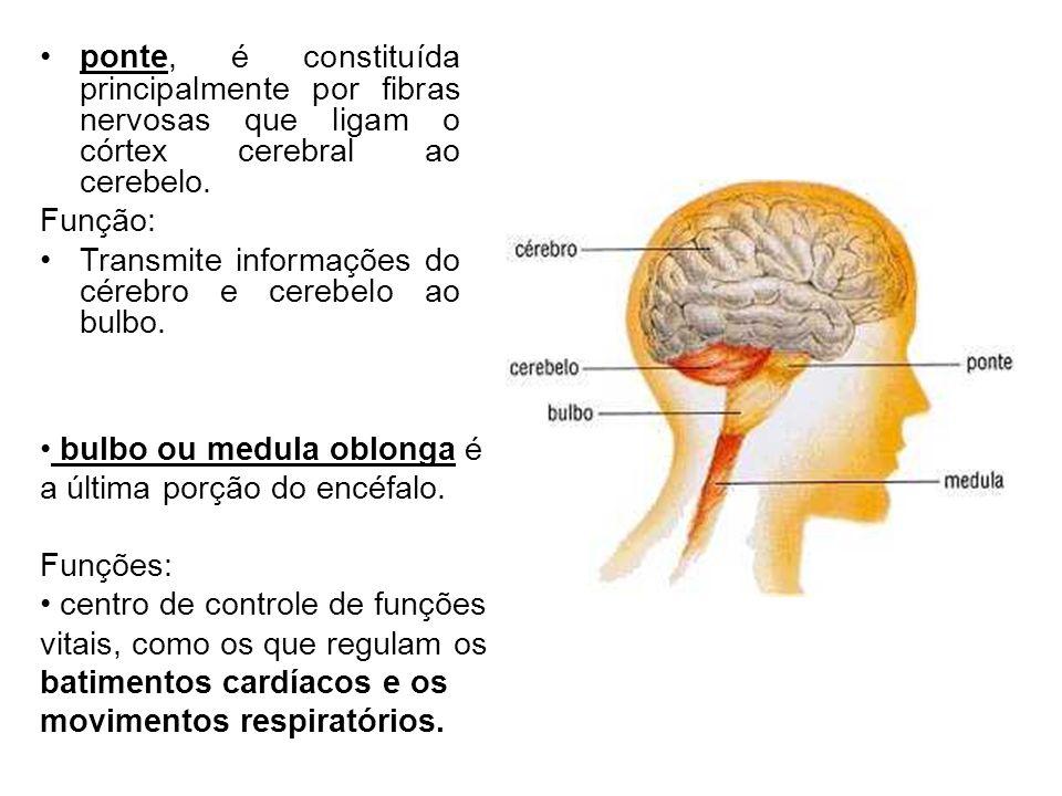 ponte, é constituída principalmente por fibras nervosas que ligam o córtex cerebral ao cerebelo.
