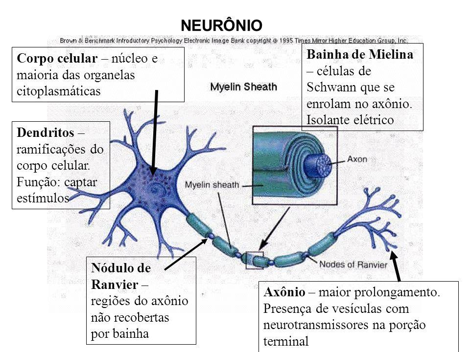 NEURÔNIO Bainha de Mielina – células de Schwann que se enrolam no axônio. Isolante elétrico.