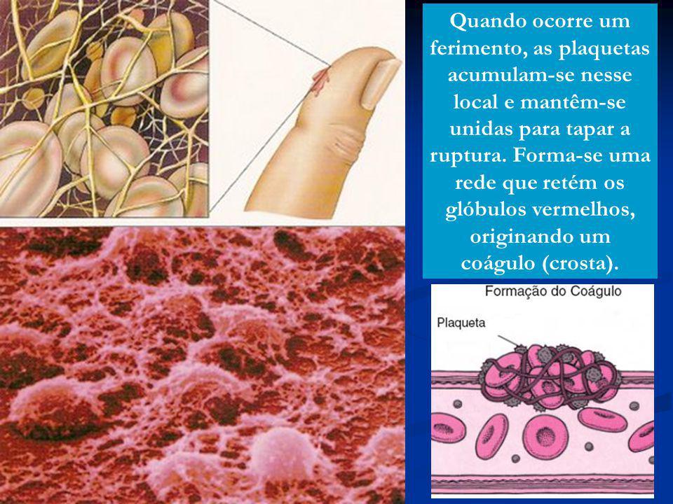 Quando ocorre um ferimento, as plaquetas acumulam-se nesse local e mantêm-se unidas para tapar a ruptura.