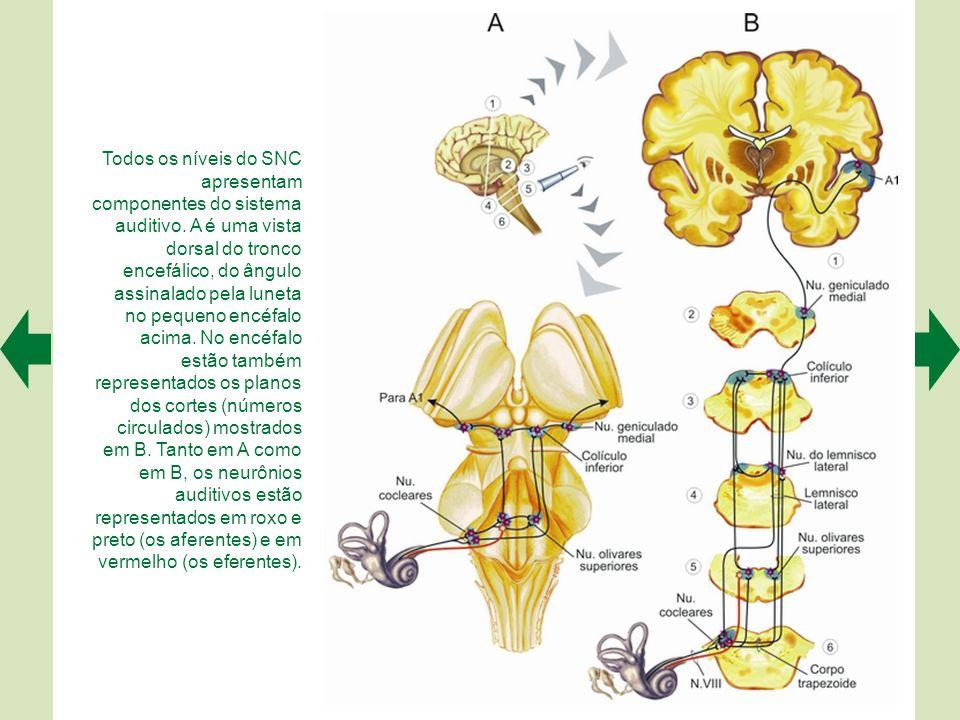 Todos os níveis do SNC apresentam componentes do sistema auditivo