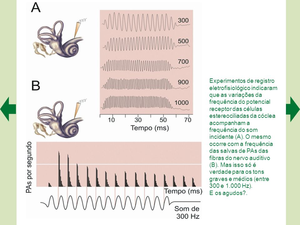 Experimentos de registro eletrofisiológico indicaram que as variações da frequência do potencial receptor das células