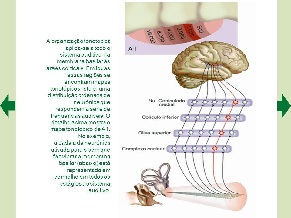 A organização tonotópica aplica-se a todo o sistema auditivo, da membrana basilar às áreas corticais. Em todas essas regiões se encontram mapas tonotópicos, isto é, uma distribuição ordenada de neurônios que respondem à série de frequências audíveis. O detalhe acima mostra o mapa tonotópico de A1. No exemplo,