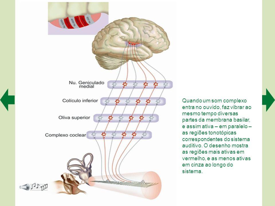 Quando um som complexo entra no ouvido, faz vibrar ao mesmo tempo diversas partes da membrana basilar, e assim ativa – em paralelo – as regiões tonotópicas correspondentes do sistema auditivo.