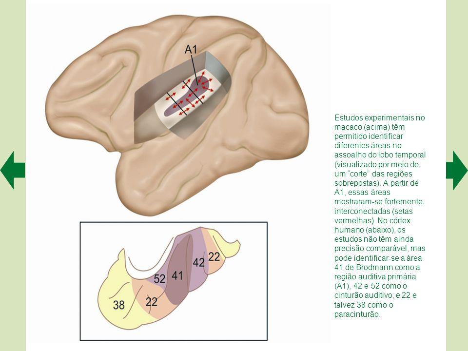Estudos experimentais no macaco (acima) têm permitido identificar diferentes áreas no assoalho do lobo temporal (visualizado por meio de um corte das regiões sobrepostas).
