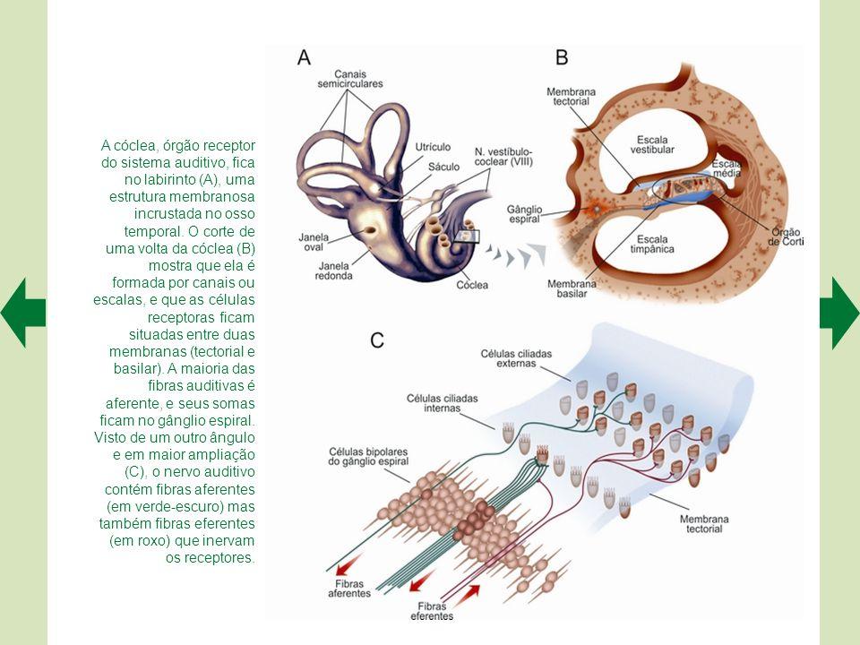 A cóclea, órgão receptor do sistema auditivo, fica no labirinto (A), uma estrutura membranosa incrustada no osso temporal.