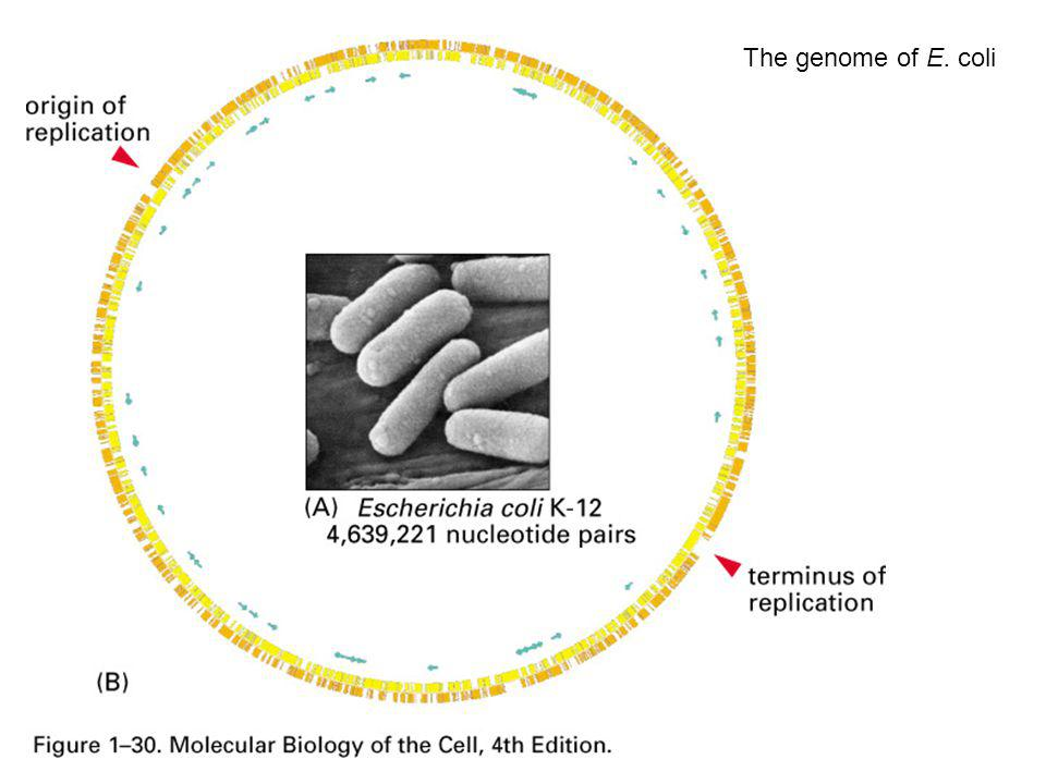 The genome of E. coli