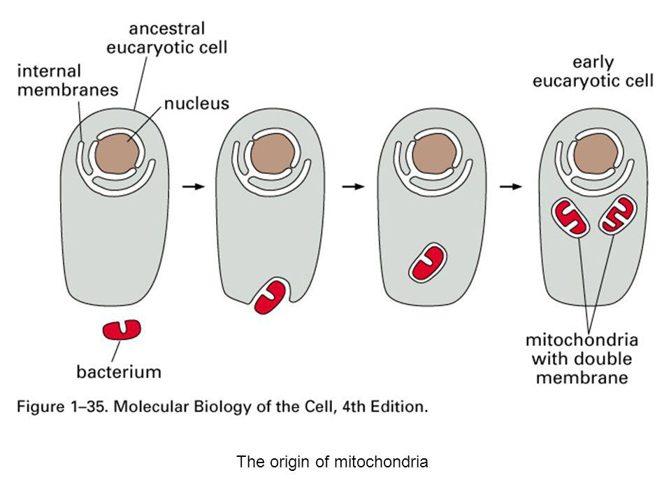 The origin of mitochondria