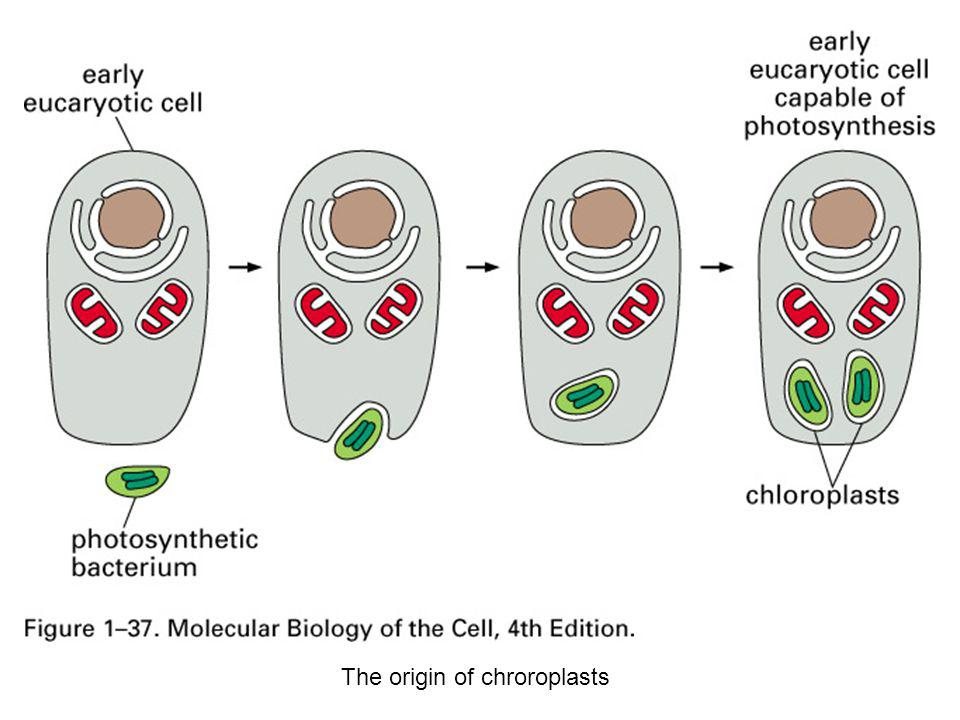 The origin of chroroplasts