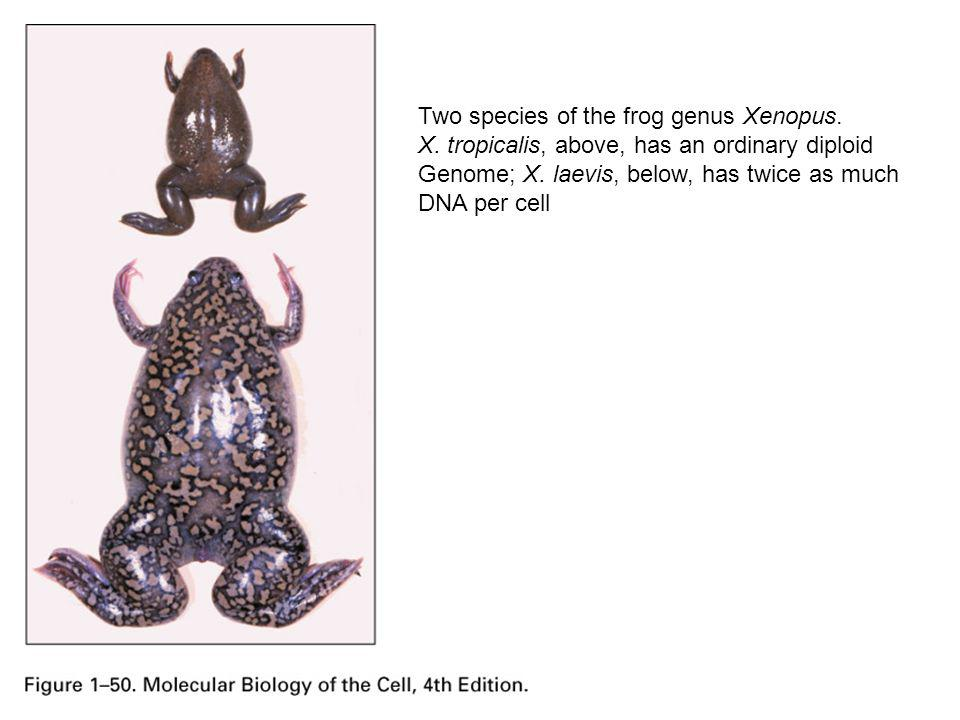 Two species of the frog genus Xenopus.