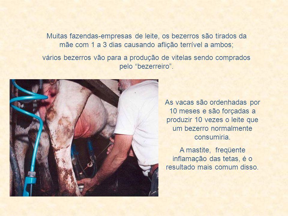 Muitas fazendas-empresas de leite, os bezerros são tirados da mãe com 1 a 3 dias causando aflição terrível a ambos;