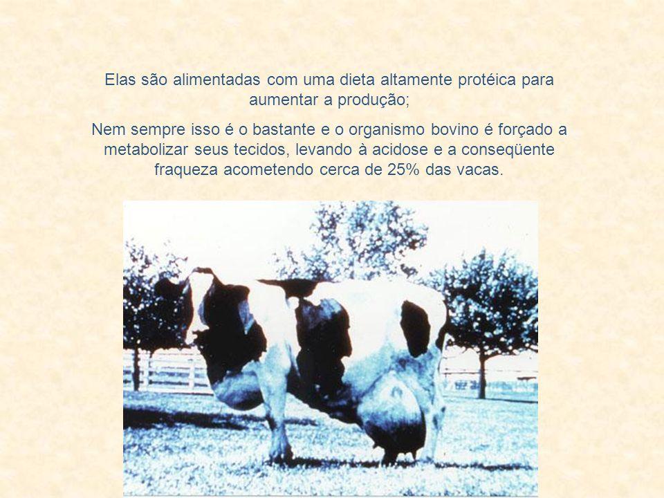 Elas são alimentadas com uma dieta altamente protéica para aumentar a produção;