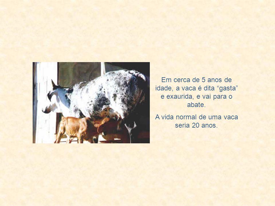 A vida normal de uma vaca seria 20 anos.