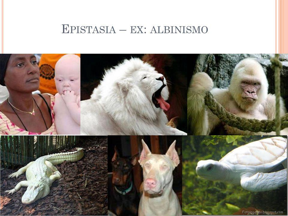 Epistasia – ex: albinismo
