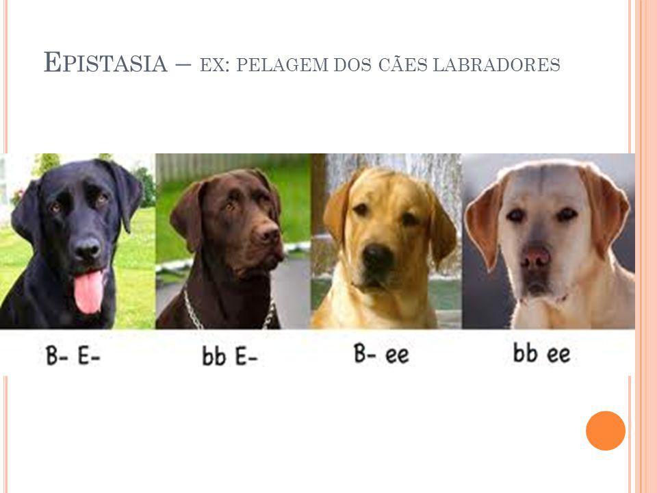 Epistasia – ex: pelagem dos cães labradores