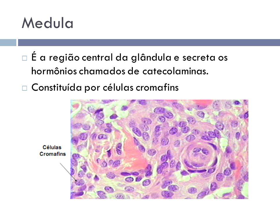 Medula É a região central da glândula e secreta os hormônios chamados de catecolaminas.