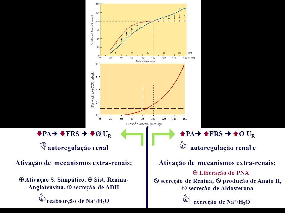   autoregulação renal reabsorção de Na+/H2O