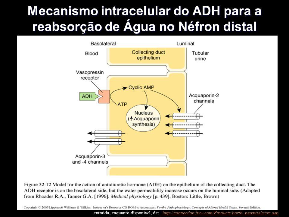 Mecanismo intracelular do ADH para a reabsorção de Água no Néfron distal