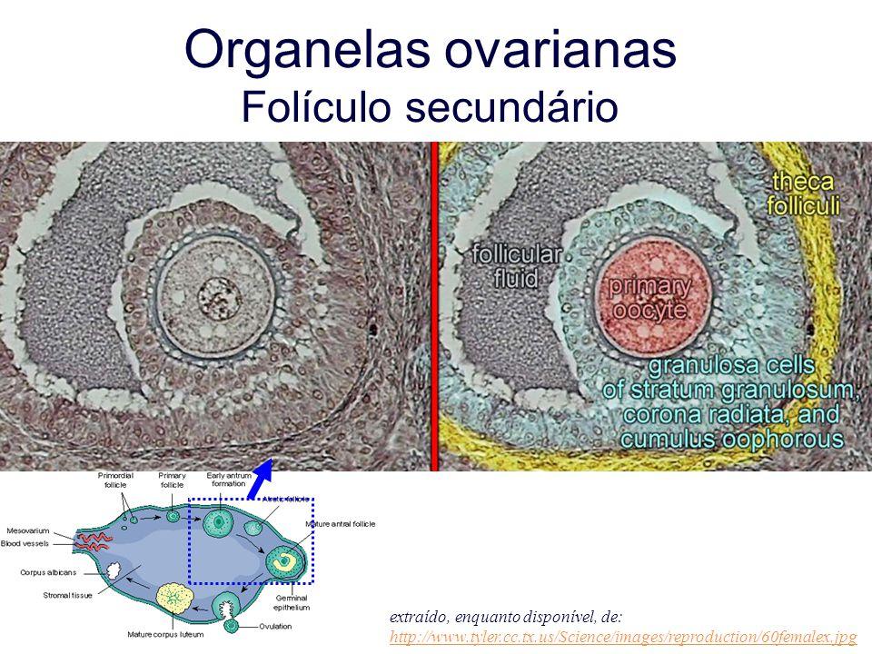 Organelas ovarianas Folículo secundário