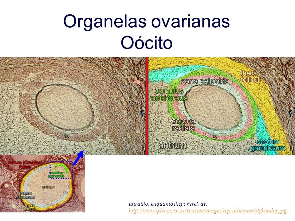 Organelas ovarianas Oócito