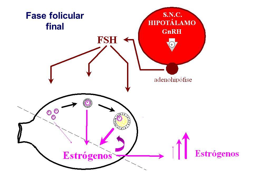 Fase folicular final