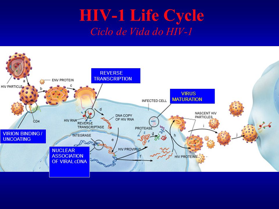 HIV-1 Life Cycle Ciclo de Vida do HIV-1
