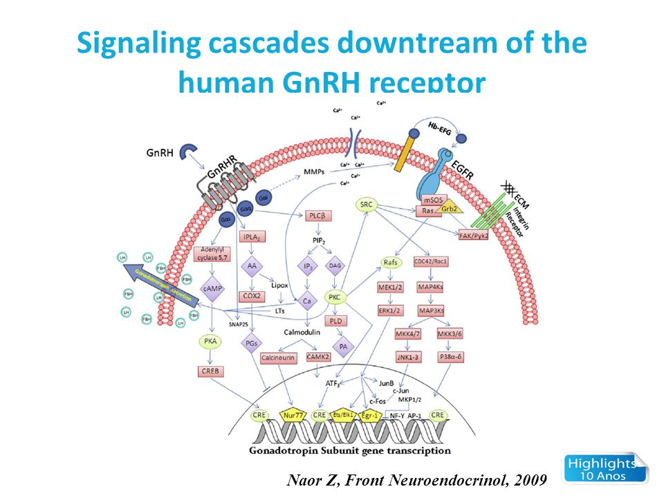 Signaling cascades downtream of the human GnRH receptor