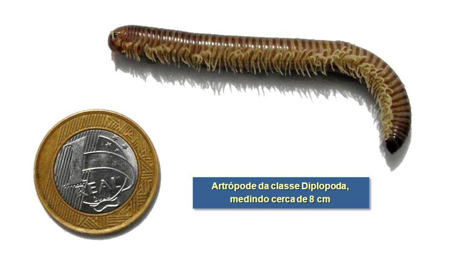 Artrópode da classe Diplopoda, medindo cerca de 8 cm