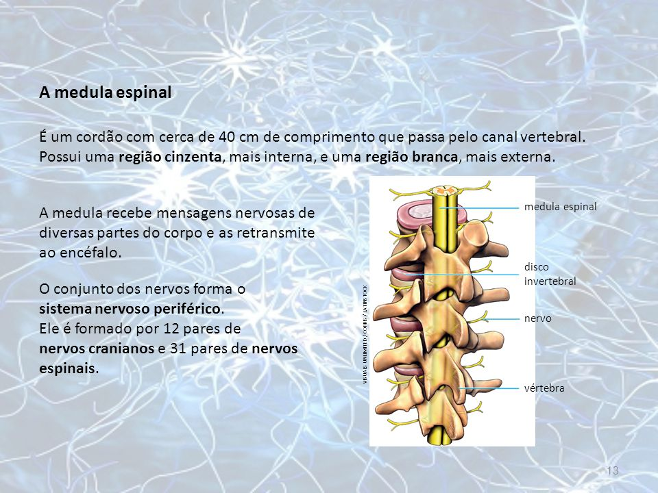 A medula espinal