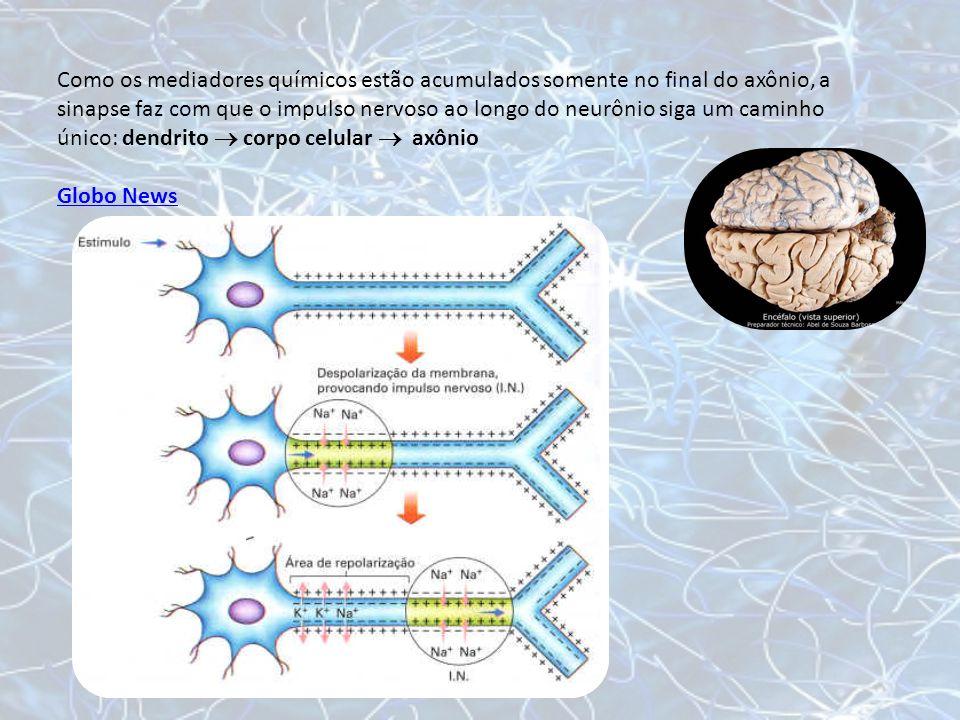 Como os mediadores químicos estão acumulados somente no final do axônio, a sinapse faz com que o impulso nervoso ao longo do neurônio siga um caminho único: dendrito  corpo celular  axônio