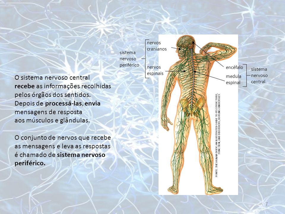 nervos cranianos sistema nervoso periférico. nervos espinais. encéfalo. sistema nervoso central.